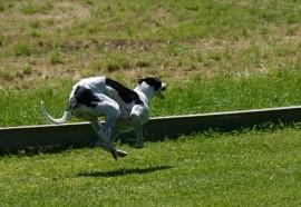 Lévrier Greyhound en pleine démonstration de puissance, sur cynodrome