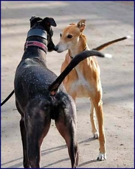Deux Greyhounds mâles font connaissance