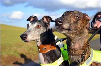 Port d'oreilles caractéristique du Greyhound